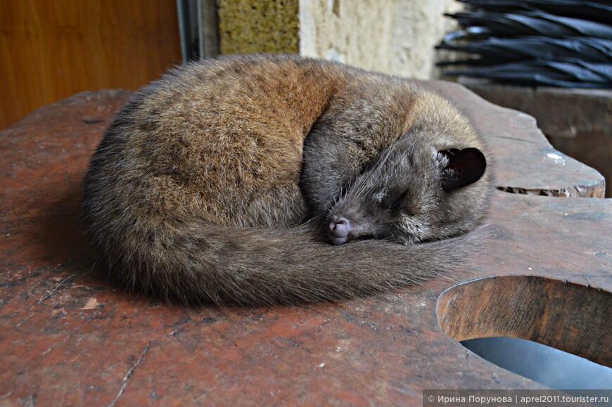 Днем циветты в основном спят, а пик активности у них наступает ночью.