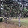 Незаурядный сосновый бор деревни Панга Панк