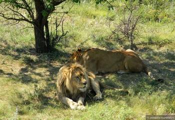 В Крыму в сафари-парке лев забрался в машину с туристами, чтобы пообщаться