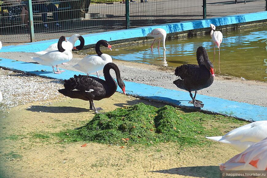 Таких необычных лебедей я видела впервые.