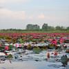 Море розовых лотосов
