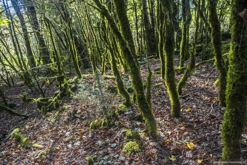 Окружающий на лес - с деревьями, покрытыми мхом, что придает им непохожесть на обычный лес..., Последам «Хроник Нарнии» вгорах Кавказа