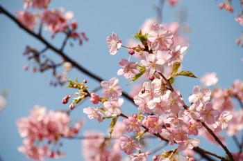 В Японии вновь зацвела сакура