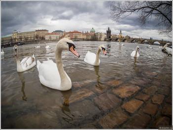 День святого Мартина с гусями пройдет в Праге