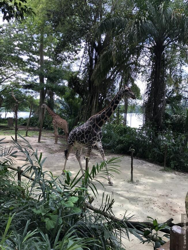 Жирафы свободно передвигаются , как на ходулях.