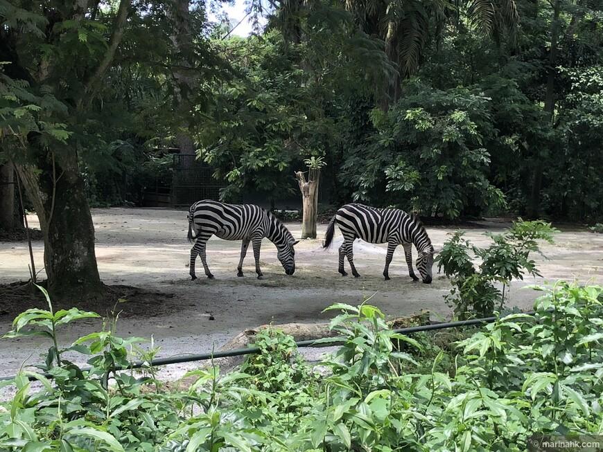 А вот зебр, к сожалению покормить нельзя . У них непредсказуемое поведение, так что лучше не рисковать.