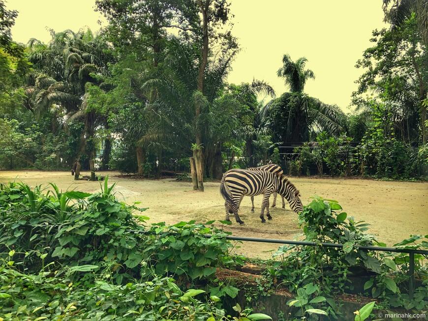 И опять красивые зебры.