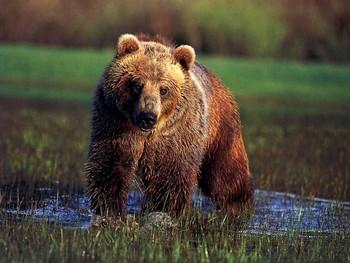 В Канаде медведь гризли напал на туристов: женщина и ребёнок погибли