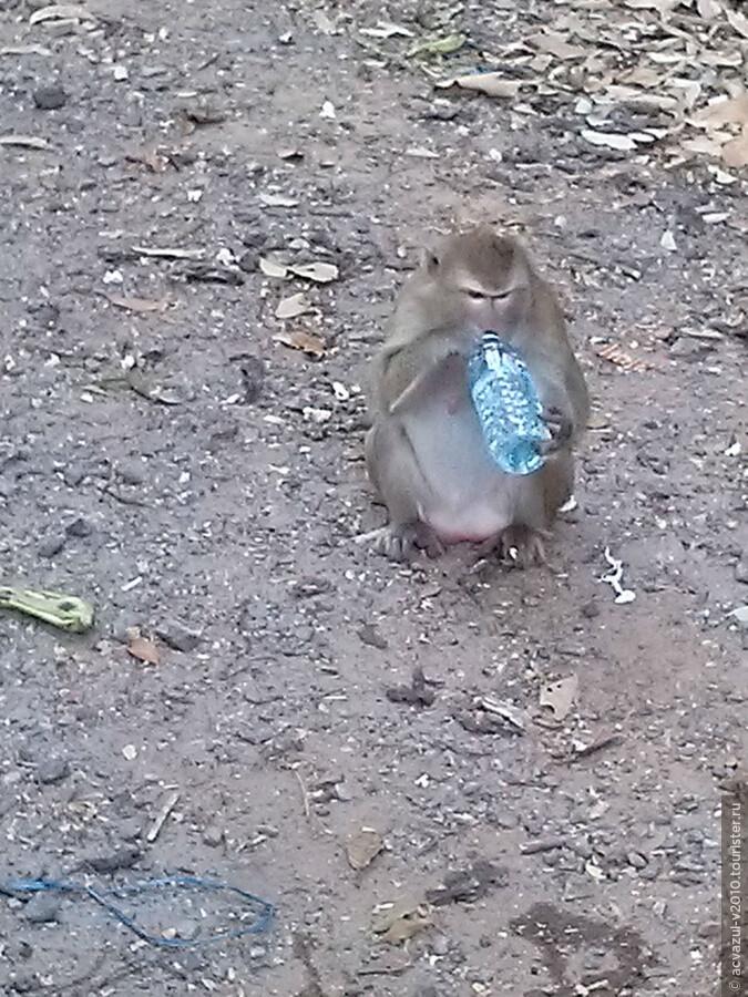 Камбоджа, где много-много диких обезьян...