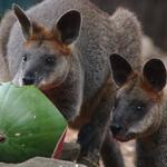 Зоопарк Сиднея «Таронга»