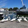 лебеди в Балтийске