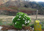 вот такие ромашки растут на острове