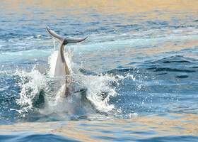 Но нашей лодке дельфины позируют охотнее