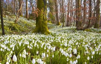 Шотландия ждёт туристов в период цветения подснежников