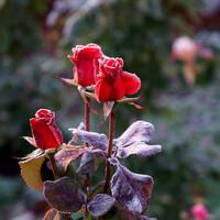Некоторые розы казались разноцветным камнем