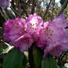 Цветущий рододерндрон