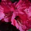 Цветущий рододендрон
