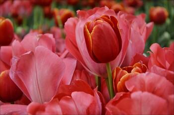 В Крыму пройдёт грандиозный парад тюльпанов