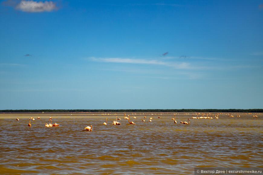Так зимуют розовые фламинго. Национальный парк Селестун