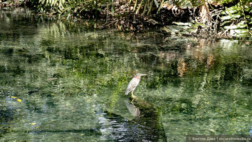 Эта птица живет в парке Селестун, но при этом она выбрала источники питьевой воды для своего обитания