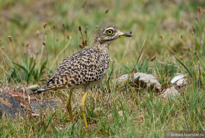 Капская авдотка, Burhinus capensis capensis, Spotted Thick-knee