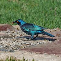 Капский блестящий скворец, Lamprotornis nitens, Cape Glossy Starling