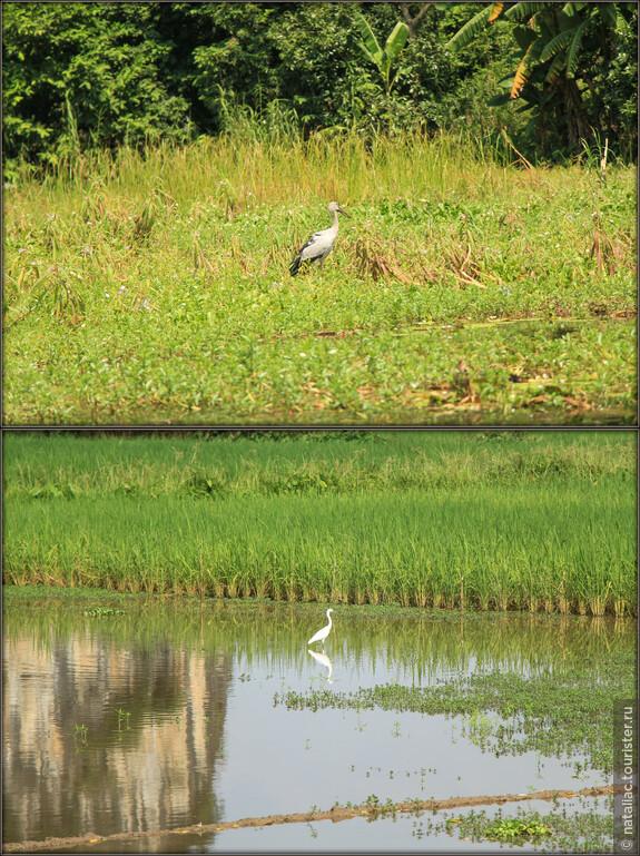 Цапли или журавли, да какая разница-мы все равно были в восторге! На полях, засаженных рисом, им раздолье!