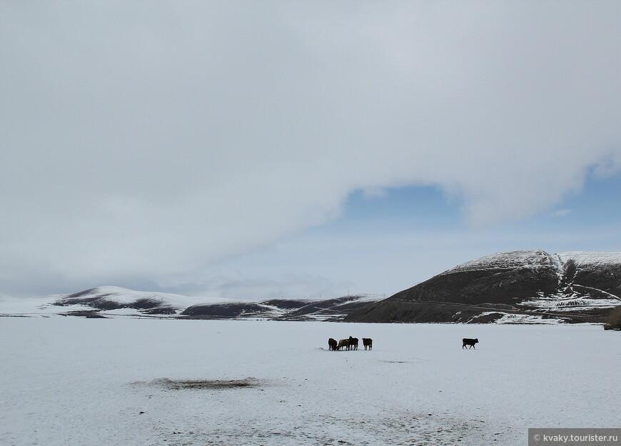 Коровы пьют из проруби на озере Чилдыр