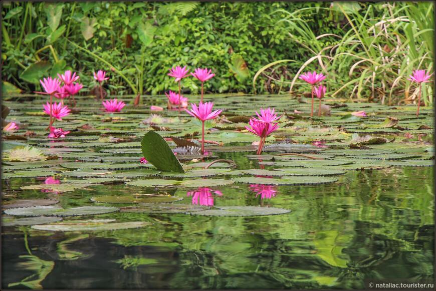 Во Вьетнаме кувшинки имеют две разновидности: кувшинки лотоса, посаженные в озерах вокруг пагод и роскошных дворцов, и дикие кувшинки, растущие в водоемах.  Мы любовались этими яркими и невероятно нежными, изящными водными растениями.