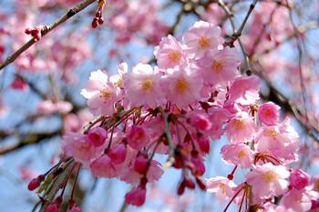 В Японии создали приложение для туристов, желающих полюбоваться цветущей сакурой