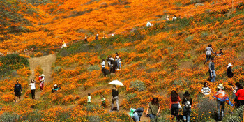 Каньон в Калифорнии страдает от наплыва туристов, вытаптывающих маковые поля
