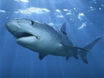 Ещё одно нападение акулы на туриста – теперь в Мексике