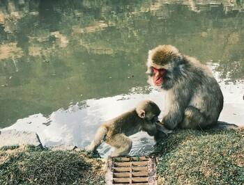 В Японии на туристов нападают агрессивные обезьяны