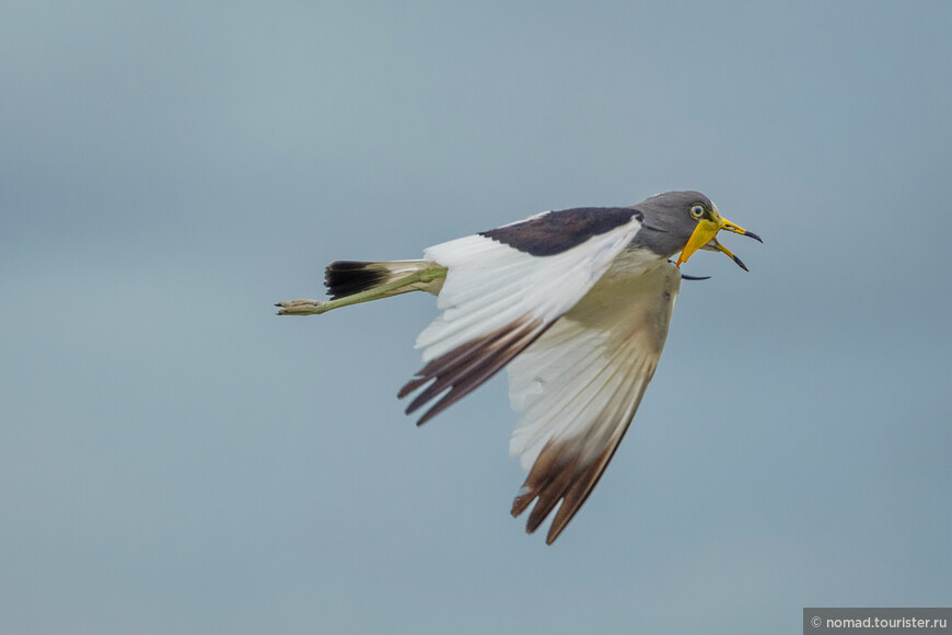 Белоголовый чибис, Vanellus albiceps, White-headed Lapwing