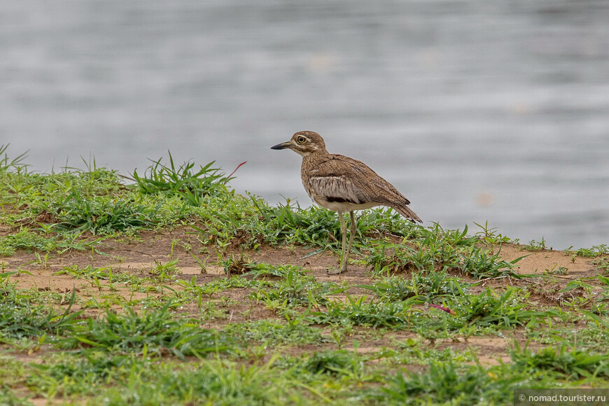 Водяная авдотка, Burhinus vermiculatus, Water Thick-knee