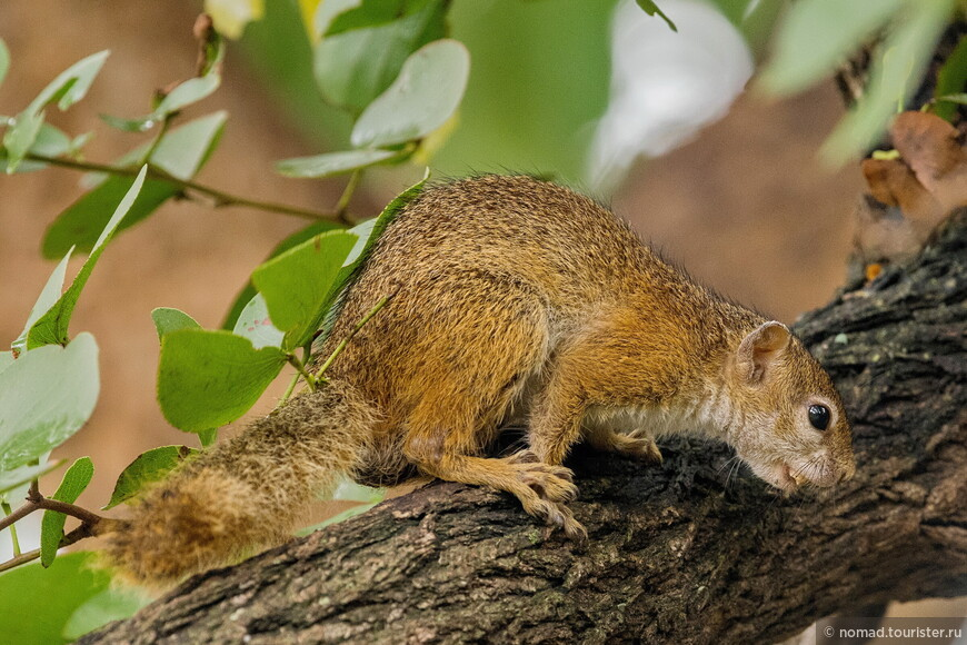 Сероногая кустарниковая белка, Paraxerus cepapi, African Bush Squirrel