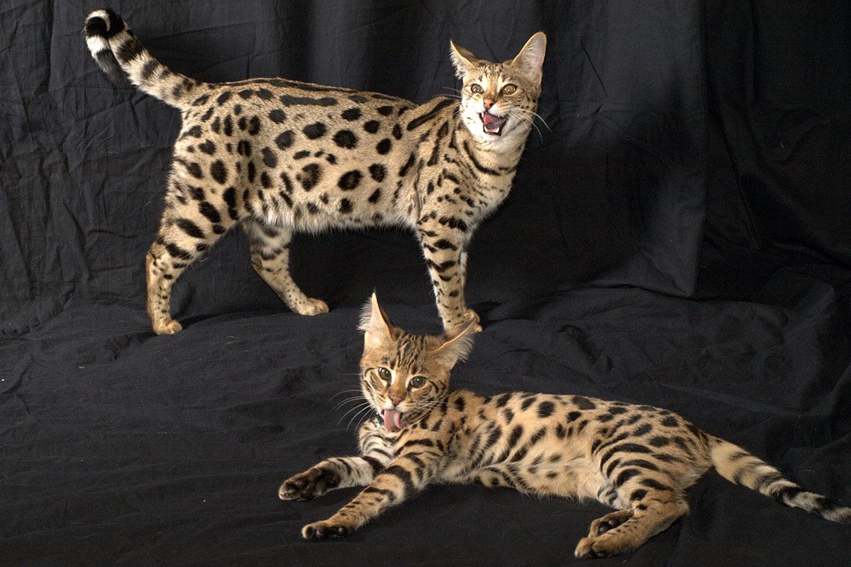 Карманная кошка фото порода презентация