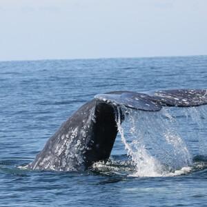 Баха-Калифорния-Комсомолец — все на китов!!!