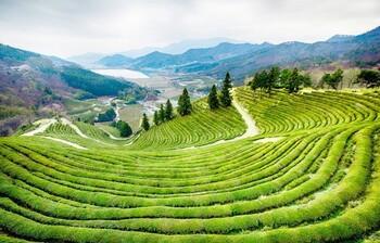 В Южной Корее пройдёт Фестиваль зелёного чая