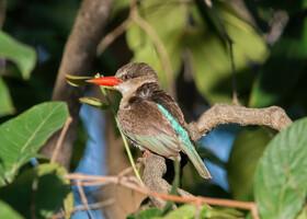 Буроголовая альциона, Halcyon albiventris, Brown-hooded Kingfisher