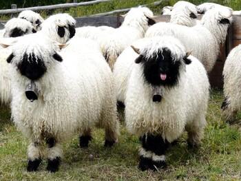 В Церматте пройдёт Фестиваль пастухов