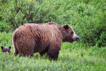 На Аляске строят мост для наблюдений за медведями