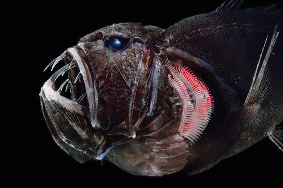 фото рыбы с глубин муфты