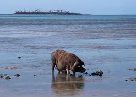 Свиньи-рыболовы (Fishing Pigs) - снимок с сайта https://i.ytimg.com