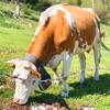 Счастливые швейцарские коровки