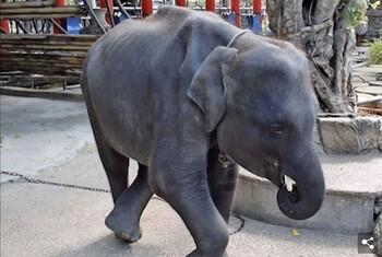 Слонёнок умер в зоопарке Пхукета, сломав ноги во время шоу для туристов