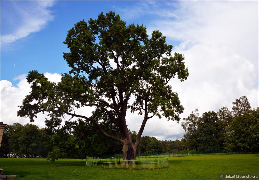 Многовековой дуб на Серебряном лугу.Считается, что он был посажен при графе Григории Орлове - первом владельце усадьбы.