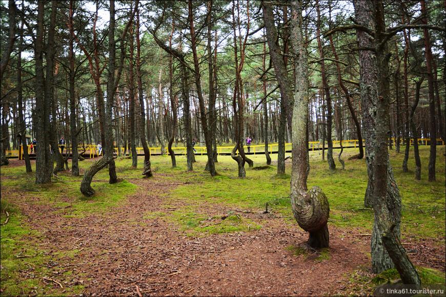 Это по-своему уникальное место Куршской косы. В начале 60-х годов XX века на дюне Круглой, что недалеко от поселка Рыбачий, были высажены сосновые леса. На небольшом участке леса деревья закручиваются причудливым образом, буквально извиваясь у основания.