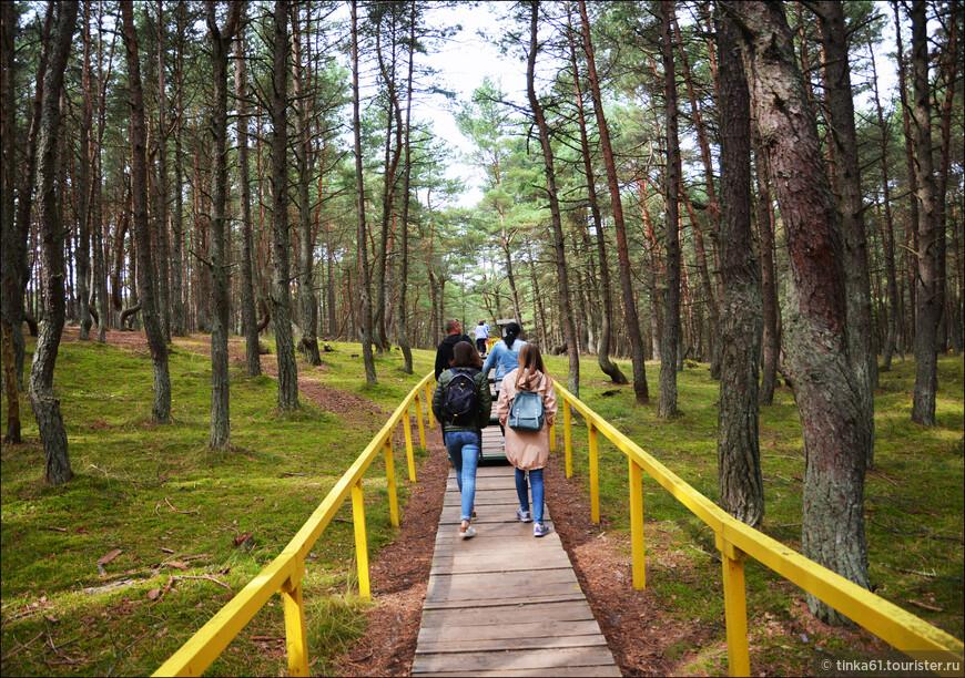 Экскурсия начинается с посещения Танцующего леса. Гулять по лесу можно строго по  туристическим тропам.