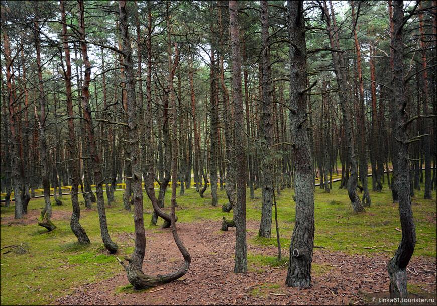 Очень причуддливый лес, его еще часто называют пьяным. По-моему, очень верное название.
